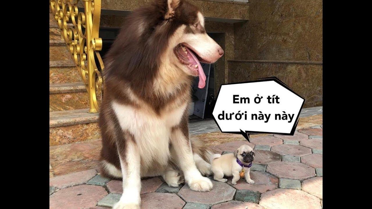 Mật gặp em chó tí hon , lỡ mồm nuốt luôn em - Chó Pug mặt xệ siêu cute
