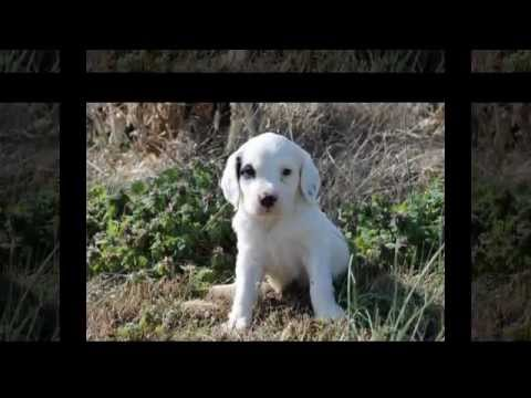 Llewellin Setter Puppies Litter #101