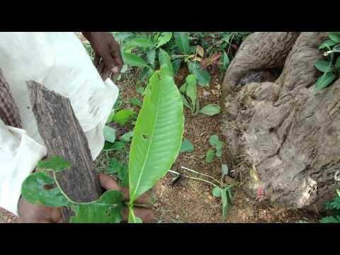 Pankaj Oudhia's Healing Herbs: Revitalization Of Pancreas And Diabetes Management-cc6034b