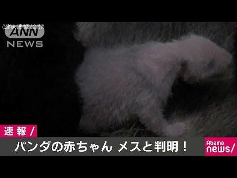 シンシンの赤ちゃんはメスと判明(17/06/23)