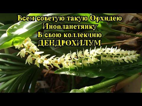 #орхидея #Дендрохилум Зацвела Орхидея Дендрохилум. Живет, растёт Без капризов))))