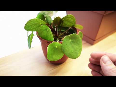 How to Care For Pilea Peperomioides - CHINESE MONEY PLANT