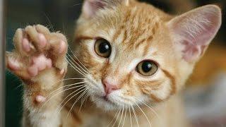 Кошки лапой дают пять!Круто!Рекомендую к просмотру!Видео приколы кошки!