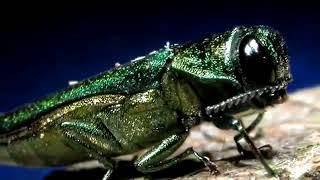 Emerald Ash Borer Management