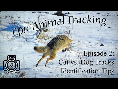 Epic Animal Tracking Episode #2: Cougar or Wolf / Cat and Dog Track Differences