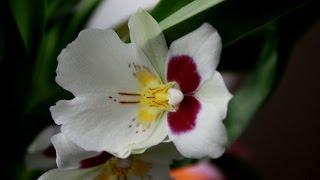 Орхидея зацвела Miltoniopsis Первое цветение за 3 года(, 2017-01-05T12:14:52.000Z)