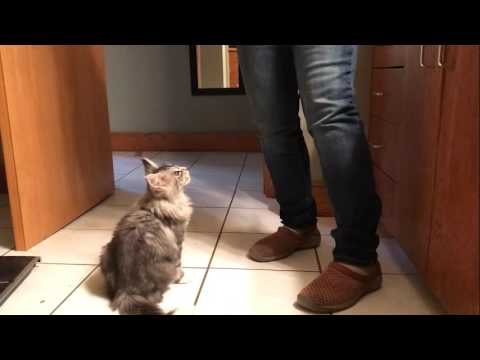 Cecil, the Maine Coon kitten, learning sit & raise paw