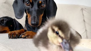 Loulou, Coco & 2 Ducklings.