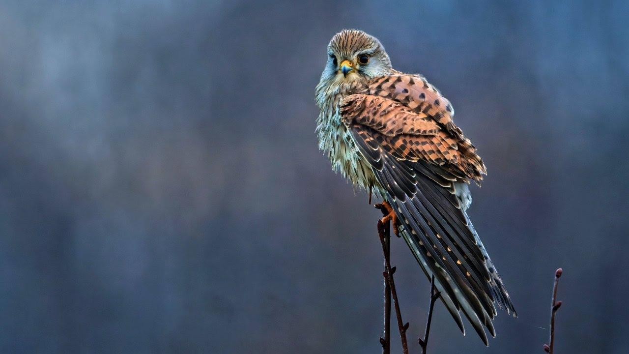 Photographing this amazing Kestrel   Wildlife Photography Vlog