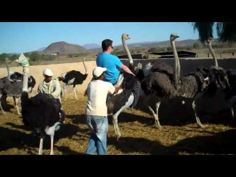 Ostrich Riding in Oudtshoorn South Africa