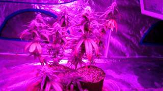 Day 43 of Flower: Bloombastic Test with two 360w Advanced LED Extreme Flower lights, 3 plants