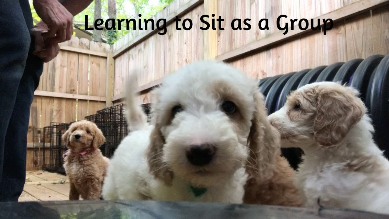 Available Trained Goldendoodle Puppies - Training Canines