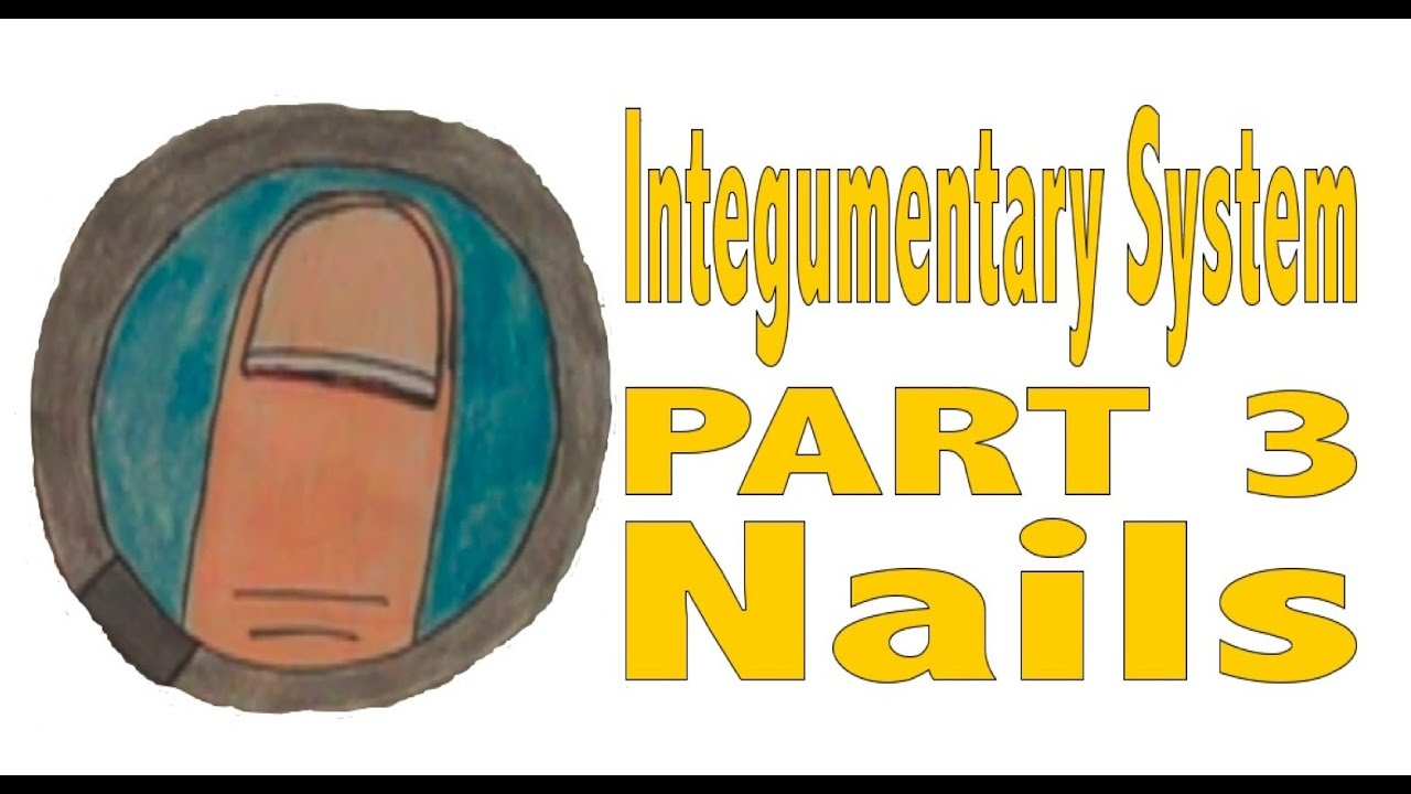 Integumentary System Part 3 Nails