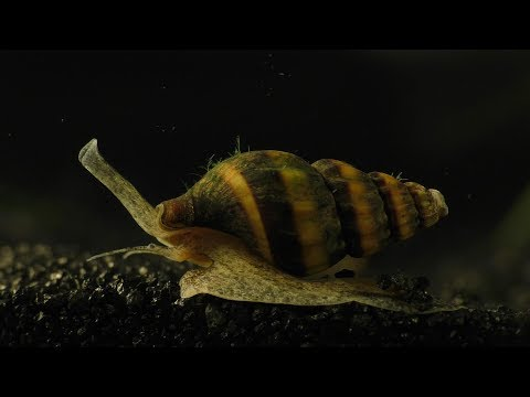 Assassin Snail - Hunting, Killing, And Eating.