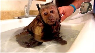 Capuchin Monkey Hot Relaxing Bath