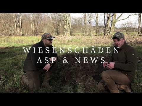 Wildschweine, Wiesenschäden, ASP & News
