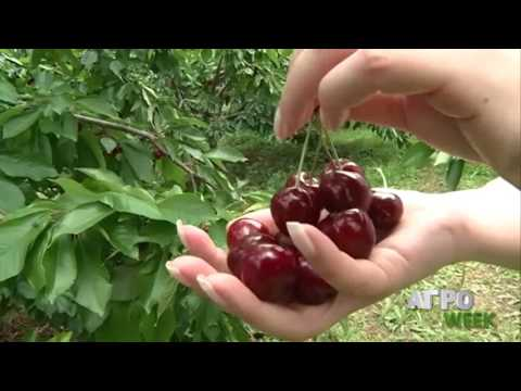 i-CON.SHARE interview in the Greek National Television for the sweet cherry