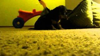 Puppy Cuteness - Dachshund / Yorkshire Terrier Mix - 27 Days Old