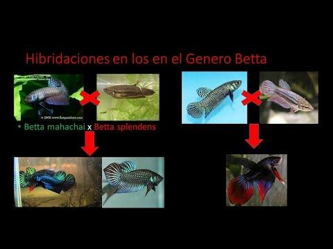 Los Bettas Actuales Son Híbridos GENTE BETTA MEXICO OFICIAL