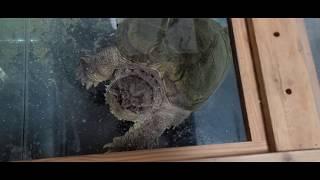 (문호천어부)멕시칸늑대거북에게 블랙타이거 새우를 ...