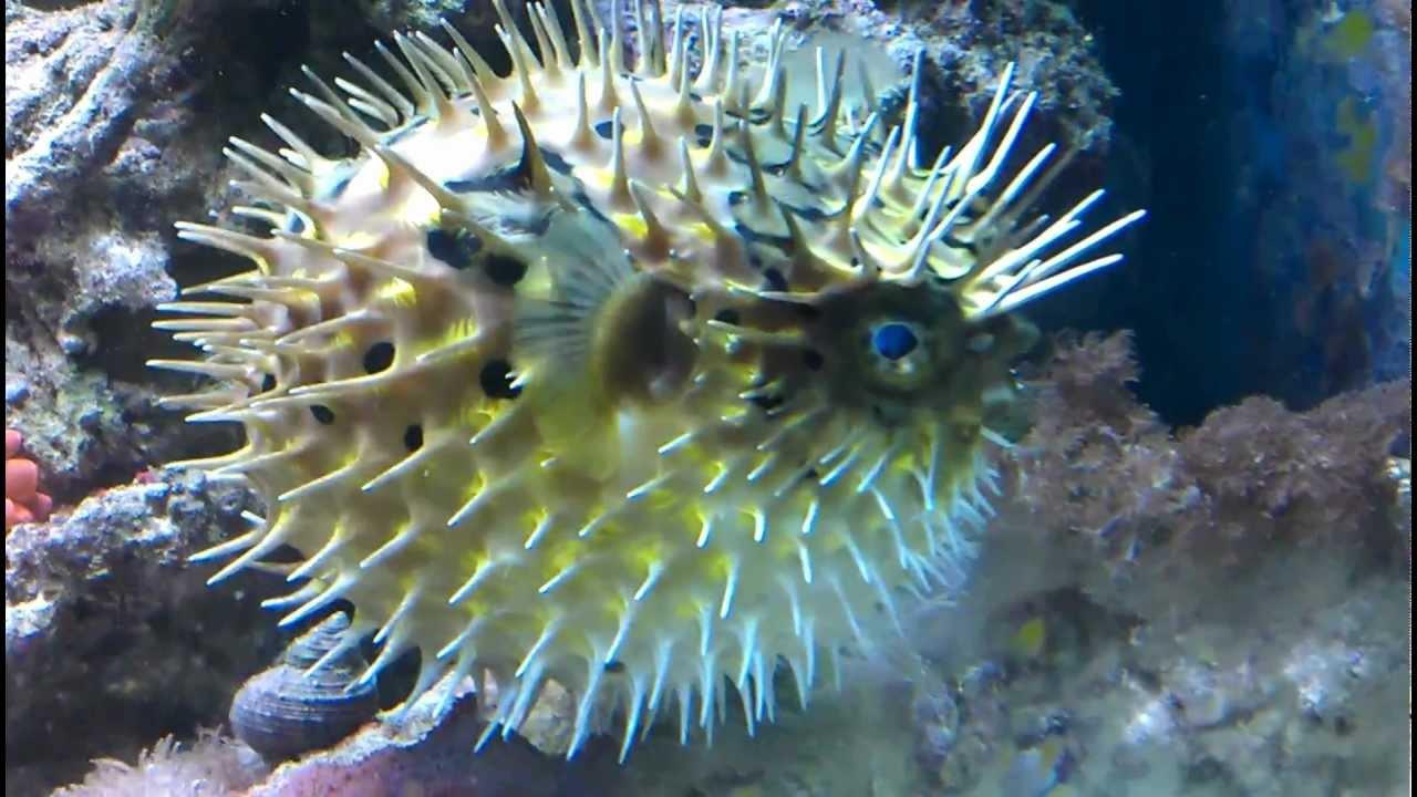 Porcupinefish Blows Up And Deflates Egelvis Blaast Op