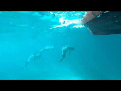 Bluefields Bay Villas - Dolphin Swimming Next To Fishing Boat