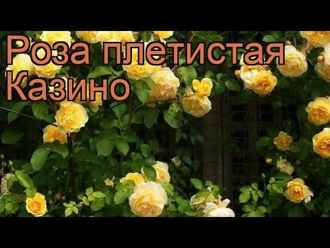 Купить розу казино