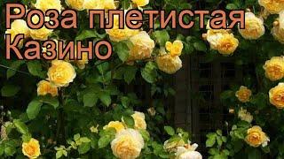 Роза плетистая Казино ???? плетистая роза Казино обзор: как сажать, саженцы розы Казино
