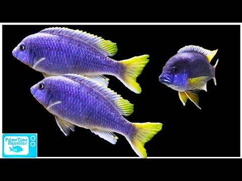 Pseudotropheus Acei Care And Breeding