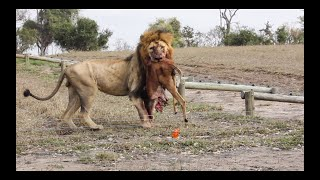 There's a LION in CAMP! And 2 LEOPARDS squabble.