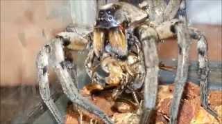 Carolina Wolf Spider Feeding Demonstration