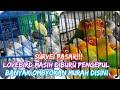 Lovebird Masih Diburu Pengepul Banyak Ombyokan Murah Disini Harga Kenari Terbaru   Mp3 - Mp4 Download