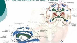 59  Summary of white matter of cerebral hemisphere           cxt