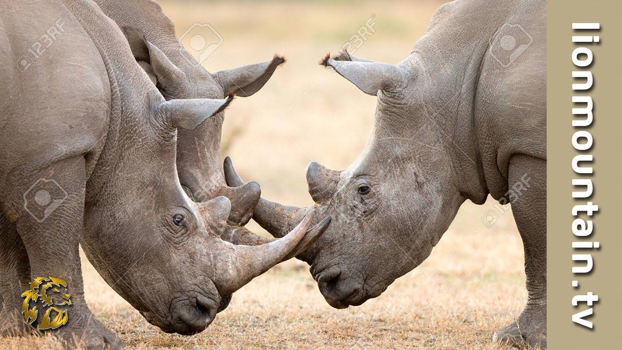 Rhinoceros Using Horns In Territorial Battles Wild Nature Youtube
