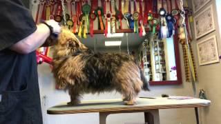 Baloo 1 - Inden jeg begynder at trimme, børster jeg hunden godt igennem