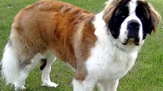 How To Maintain Your Long Haired Dogs Coat using a Deshedding Tool