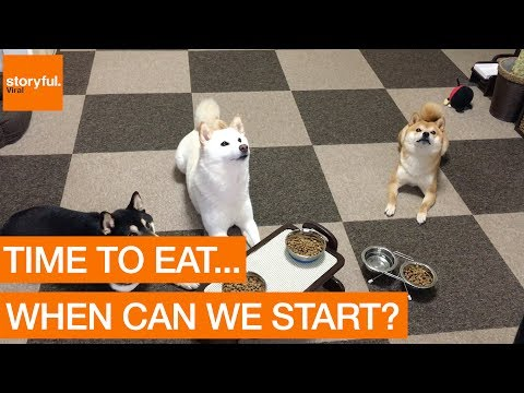 Perfectly Trained Shiba Inus Wait For Command to Eat (Storyful, Dogs)