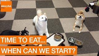 動から静へ。完璧にトレーニングされた柴犬の朝食風景