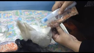 How to hand feed a baby pigeon