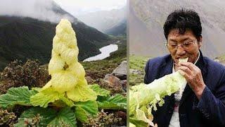Thấy cây bắp cải trên núi, đói bụng anh ăn thử thì ngỡ ngàng khi biết nó là