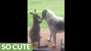 Kangaroo can't stop hugging canine best friend