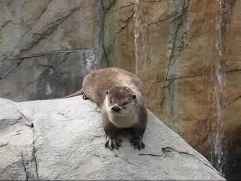 Playful River Otter