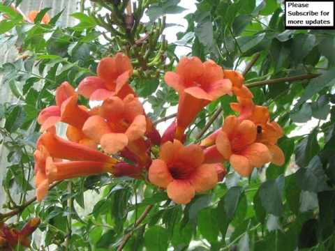 Vine garden designs trumpet vine youtube vine garden designs trumpet vine mightylinksfo