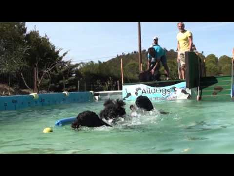 Portuguese Water Dogs - Introduction in Dock Diving Portugal