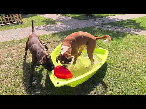 water-rugby-challenge!-boxer-dogs-funny-play-with-egg-ball-in-pool!-😂😂😂