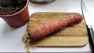 Семена моркови: как вырастить и собрать свои семена - 7 дач