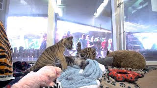 2 Lonely Tiger Cubs Become Best Friends After One Is Rejected By His Mother