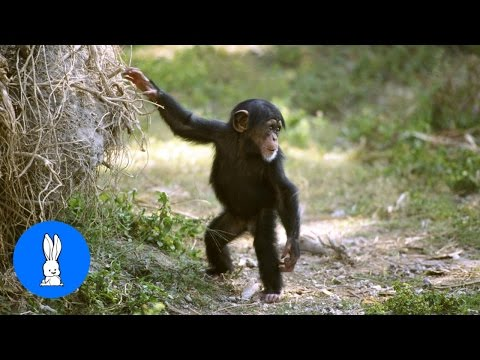 Cuddly Baby Chimpanzees - Cutest Compilation