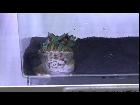クランウェルツノガエルミューテーション Cwratophrys cranwelli ラボ 日本最大級の体感型カエル館 kawazoo カワズーに行って来ました~ 00067
