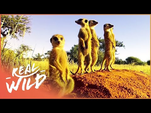 Kalahari Meerkats: Meet The Gosa Gang [Desert Wildlife Documentary] | Wild Things
